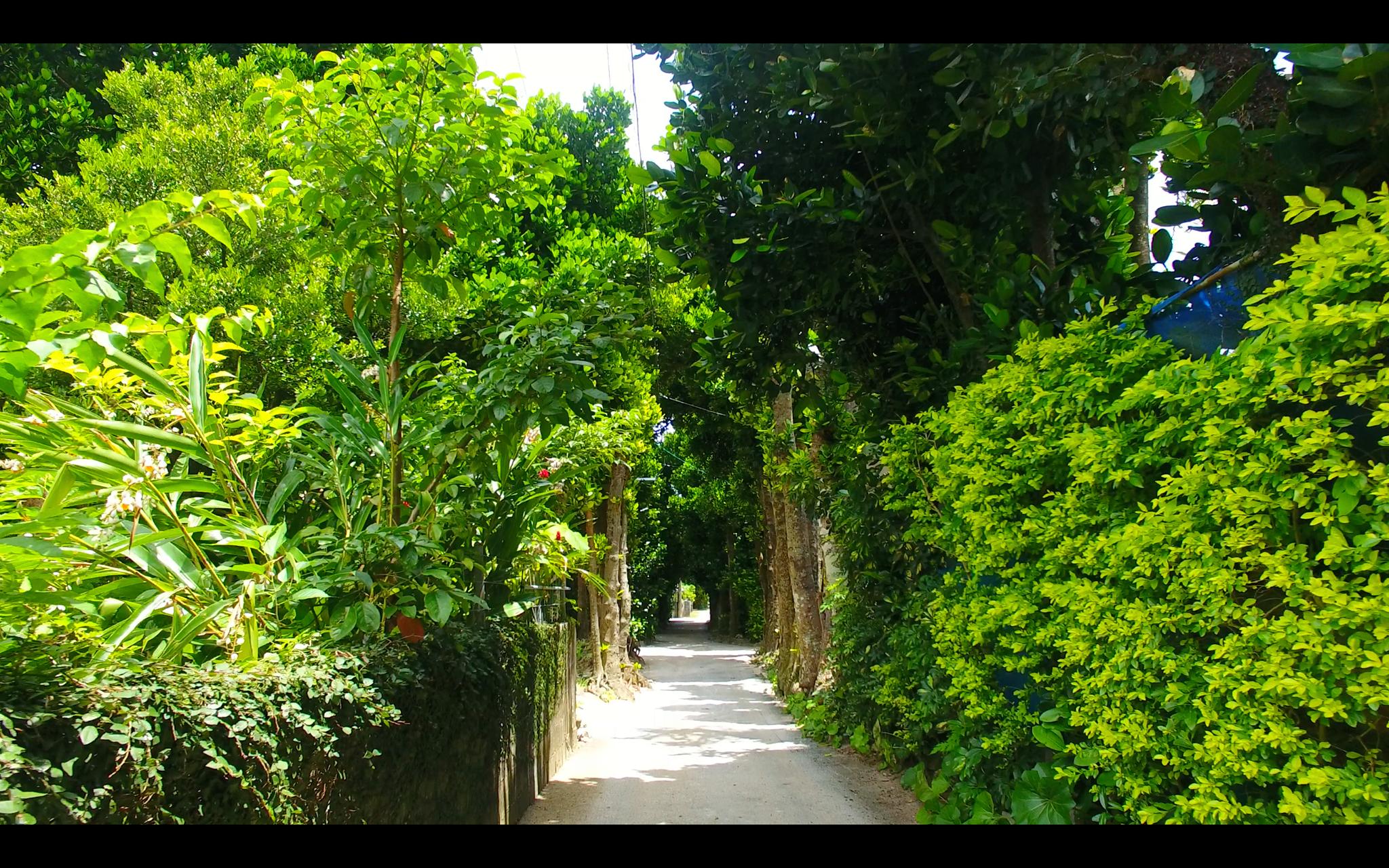沖縄北部のフクギ並木を撮影